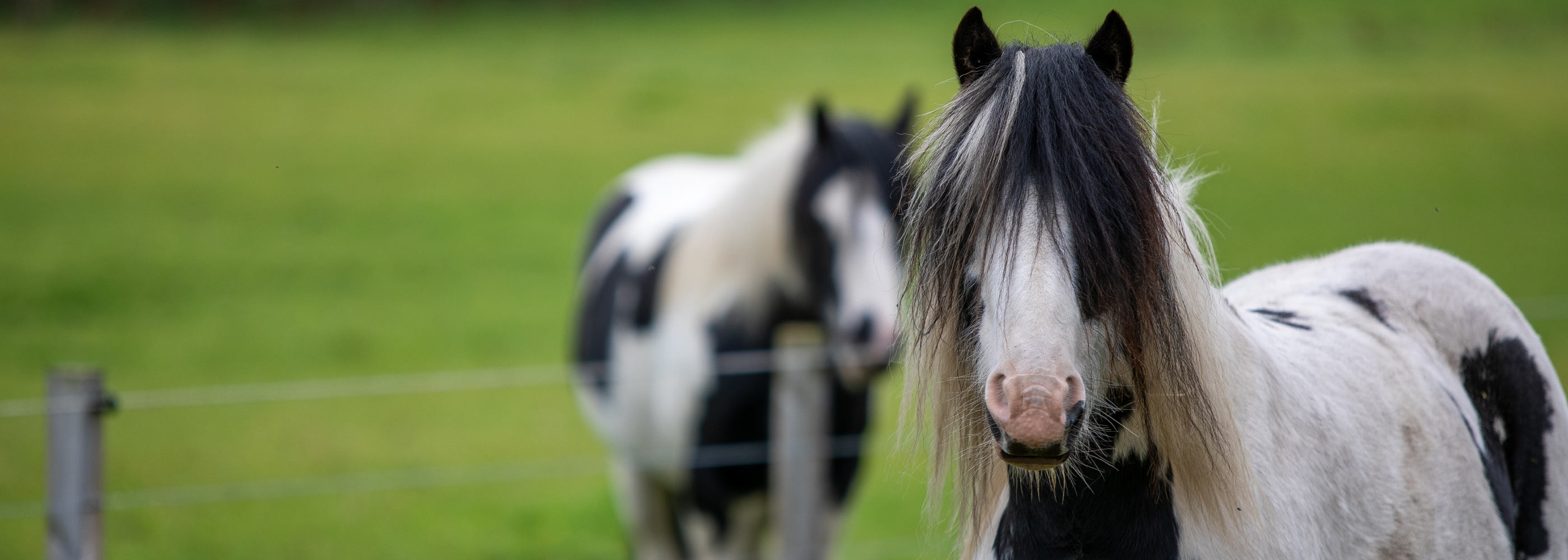 Two black and white horses ina  field of grass
