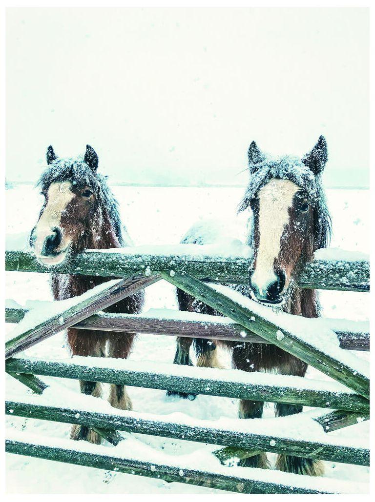 Snowy ponies
